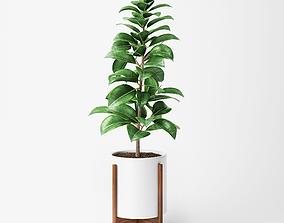 Ficus Elastica 2 3D model