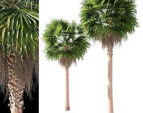 3D Washingtonia robusta mexican fan palm 2