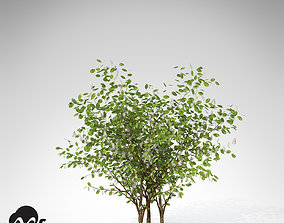 XfrogPlant European Bird Cherry 3D model