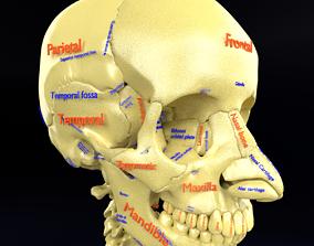 skull labelled anatomy text ldetailed 3D printable model