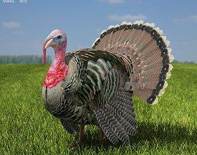 Turkey Meleagris gallopavo 3D model