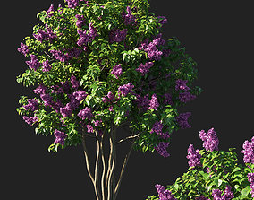 Syringa vulgaris tree pink flowers 3D model