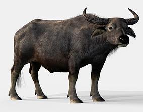 2020 Asian buffalo - Water buffalo 3D