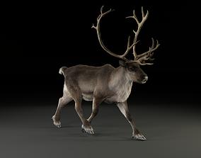 Male ReinDeer 3D