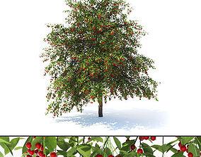Prunus avium tree 3D