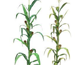 3D asset Corn Low-Mid Poly