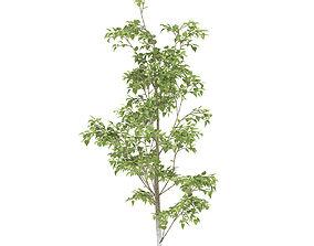 3D model Birch 1 metre summer