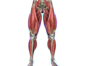 full Muscles of the Leg Medical Edition 3D model