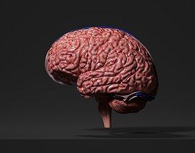Human Brain PBR Realistic 3D model