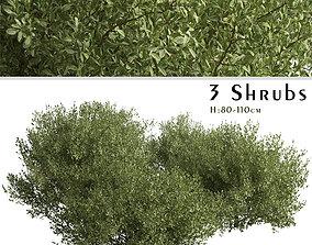 Set of Buxus bodinieri or Buxus Shrubs - 3 Shrubs 3D model