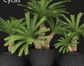3D model Cycas palm tree