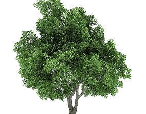 Champion Oak 3D Model 10m