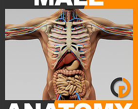 3D model Human Male Anatomy - Body Skeleton Internal