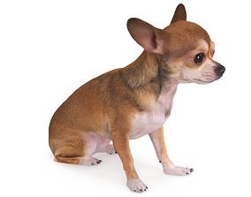 3D asset Chihuahua Sitting