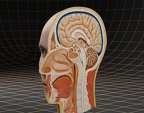 Anatomy head cutaway 3D model