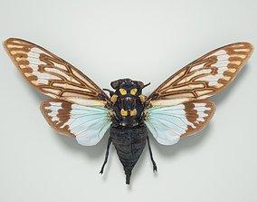 Cicada Tosena Splendida Burma Insect 3D asset