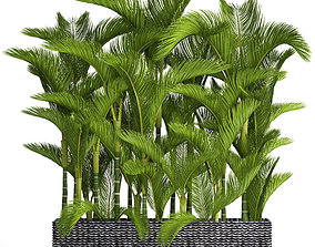 Collection plants Dypsis lutescens 3D model