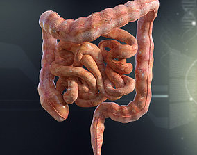 3D Human Small and Large Intestines Anatomy