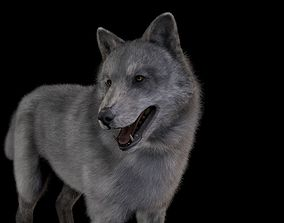 rigged Wolf Grey Rigged 3D model High Detailed