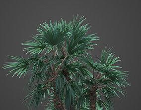 3D 2021 Mazari Palm Collection - Nannorrhops Ritchiana