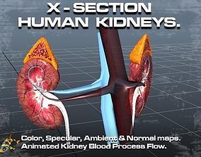 Cross Section Human Kidneys 3D model