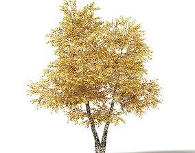 Silver Birch 3D Model 6m