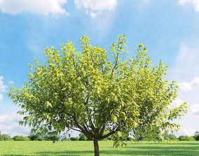 3D model Prunus padus aurea 018 v3 AM136