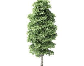 Red Alder Tree 3D Model 13m