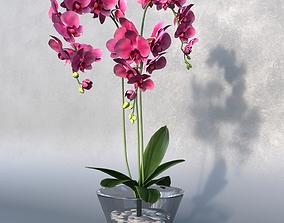 Phalaenopsis Orchid flowers 3D model