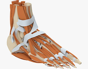 3D model Foot Anatomy