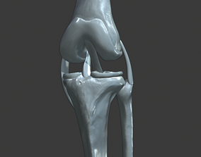 Knee ligaments model human