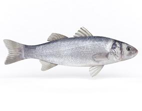 Seabass Fish river 3D model