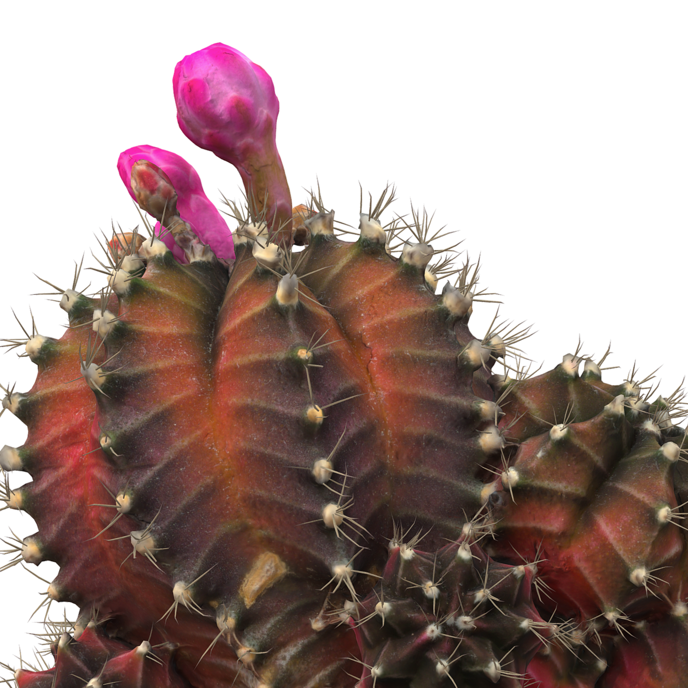Little red cactus in a pod