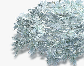 Cineraria maritima silver 3D model