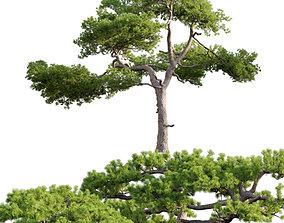 3D model Pinus taiwanensis - Taiwan red pine - Pine 05