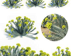 Euphorbia Rigida 3D model