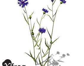 3D XfrogPlants Cornflower Groundcover