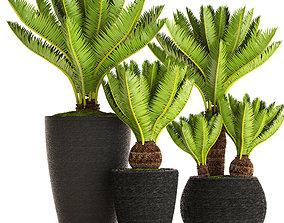 3D Cycas palm tree 6