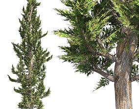 Hollywood Juniper Tree 3D model