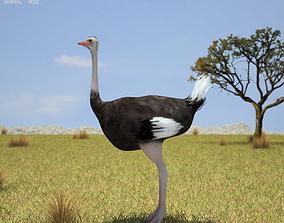 3D asset Ostrich Struthio Camelus