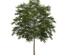 White Ash 3 Fraxinus americana 3D