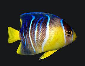 1 blue angelfish 3D asset