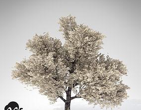 XfrogPlants Yoshino Cherry Tree 3D