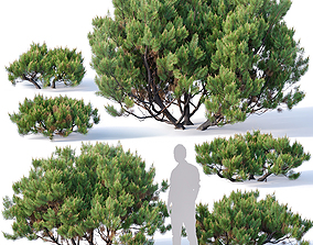 Pinus mugo Nr2 H60-260 cm Six tree set 3D model
