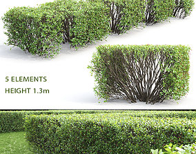 Cotoneaster lucidus hedge 03 3D