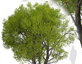3D Salix Fragilis or Crack willow Tree - 1 Tree