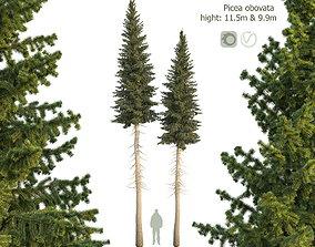 Siberian spruce Picea obovata 11m and 10m 3D PBR