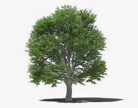 European Beech 3D model leaf