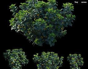 3D Gardenia angustifolia merr