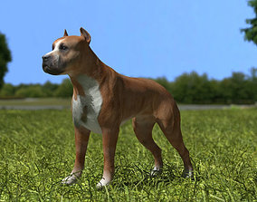 3D model American Pit Bull Terrier